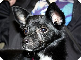 Chihuahua Dog for adoption in Houston, Texas - Millie (loving lap dog)