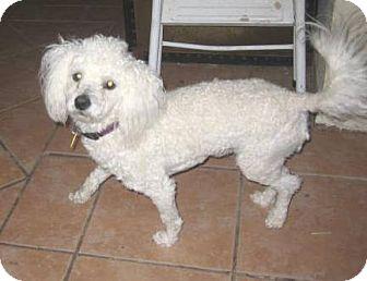 Bichon Frise/Poodle (Miniature) Mix Dog for adoption in Chandler, Arizona - Boomer