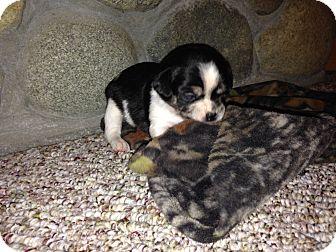Border Collie/Terrier (Unknown Type, Medium) Mix Puppy for adoption in Wapato, Washington - Remington