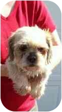 Shih Tzu Mix Dog for adoption in Wauseon, Ohio - Emma