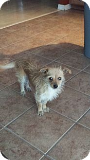 Chihuahua/Terrier (Unknown Type, Small) Mix Dog for adoption in Las Vegas, Nevada - Lava