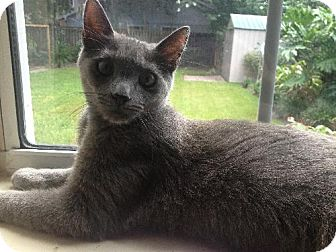 Russian Blue Cat for adoption in Orlando, Florida - Billy