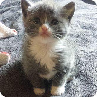Domestic Shorthair Kitten for adoption in East Brunswick, New Jersey - Starr