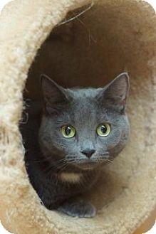 Domestic Shorthair Cat for adoption in Medford, Massachusetts - Shamrocker