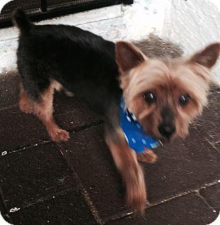 Silky Terrier/Yorkie, Yorkshire Terrier Mix Dog for adoption in San Diego, California - Carlton