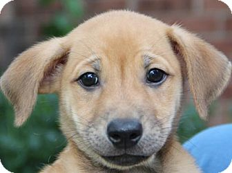 Shepherd (Unknown Type) Mix Puppy for adoption in Olympia, Washington - Theodore