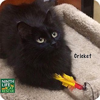 Domestic Longhair Cat for adoption in Oakville, Ontario - Cricket
