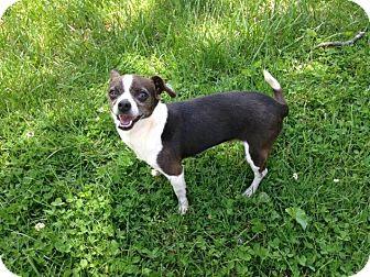 Chihuahua Mix Dog for adoption in Charlotte, North Carolina - Millie