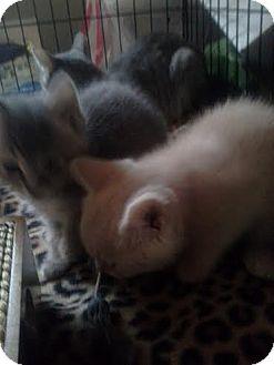 Domestic Shorthair Kitten for adoption in Columbus, Ohio - Eggnog