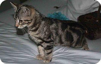 Domestic Shorthair Kitten for adoption in Gaithersburg, Maryland - Cash