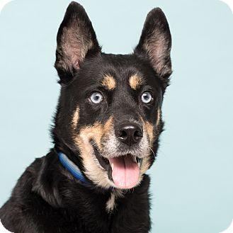Husky/Shepherd (Unknown Type) Mix Dog for adoption in Westfield, New York - Zoe