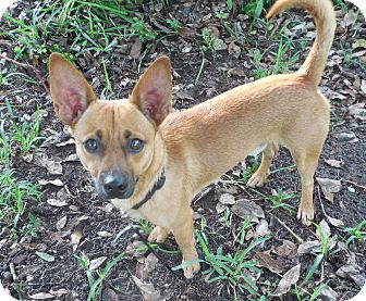 Chihuahua/Dachshund Mix Dog for adoption in Ormond Beach, Florida - Mr. Tonley
