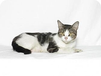 Domestic Shorthair Cat for adoption in Lufkin, Texas - Selina