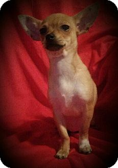 Chihuahua Mix Puppy for adoption in San Antonio, Texas - Mercedes