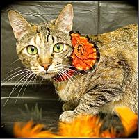 Adopt A Pet :: Belle - Arlington/Ft Worth, TX
