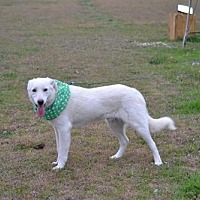 Akbash/Labrador Retriever Mix Puppy for adoption in Whitewright, Texas - Brady