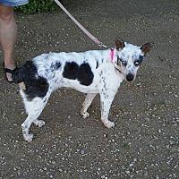 Australian Cattle Dog Mix Dog for adoption in Phoenix, Arizona - Julip