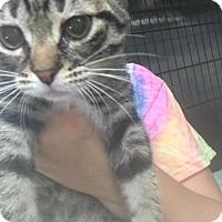 Domestic Shorthair Kitten for adoption in Lagrange, Indiana - Wren