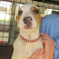 Adopt A Pet :: Etta James - Tulsa, OK