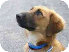 Golden Retriever/Shepherd (Unknown Type) Mix Dog for adoption in North Benton, Ohio - Rowdy  Adopted
