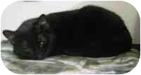 Domestic Shorthair Cat for adoption in Powell, Ohio - Isis