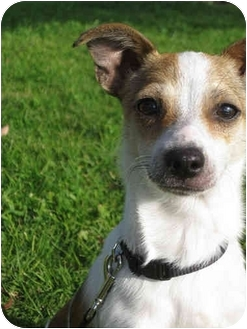 Jack Russell Terrier/Rat Terrier Mix Puppy for adoption in West Los Angeles, California - Oliver