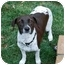 Photo 2 - Jack Russell Terrier Mix Dog for adoption in Riverside, California - Annie