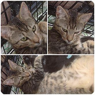Domestic Shorthair Kitten for adoption in Modesto, California - Prince