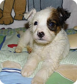 Pomeranian Mix Puppy for adoption in Bel Air, Maryland - Connor
