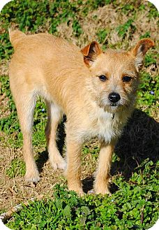 Jack Russell Terrier Mix Dog for adoption in Yuba City, California - 02/04 Jack