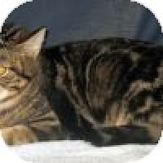 Domestic Shorthair Cat for adoption in Powell, Ohio - Odessa