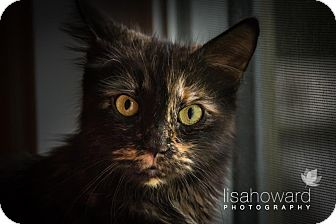 Domestic Mediumhair Cat for adoption in Montreal, Quebec - Momma