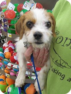 Cavalier King Charles Spaniel Mix Dog for adoption in Rochester, Minnesota - Minnie