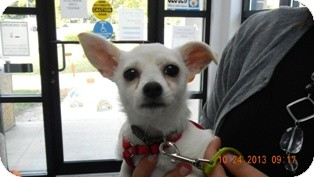 Jack Russell Terrier/Chihuahua Mix Puppy for adoption in Sandusky, Ohio - LUNA