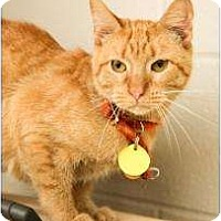 Domestic Shorthair Cat for adoption in Garland, Texas - Momma