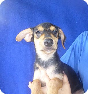 Dachshund Mix Puppy for adoption in Oviedo, Florida - Cole