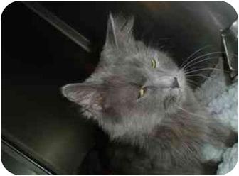 Domestic Shorthair Cat for adoption in Walker, Michigan - Daisy