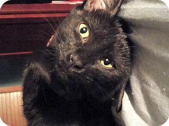 Domestic Shorthair Kitten for adoption in The Colony, Texas - Sahara