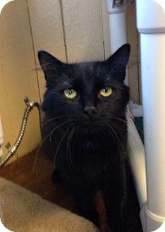 Domestic Mediumhair Cat for adoption in Greensburg, Pennsylvania - Jasper