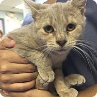 Adopt A Pet :: Goldie Hawn - Richboro, PA
