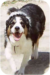 Border Collie Dog for adoption in Stephentown, New York - Brady