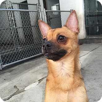 Terrier (Unknown Type, Small)/Chihuahua Mix Dog for adoption in Philadelphia, Pennsylvania - Bo