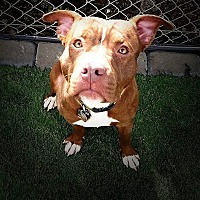 American Staffordshire Terrier Mix Dog for adoption in Sacramento, California - Lui