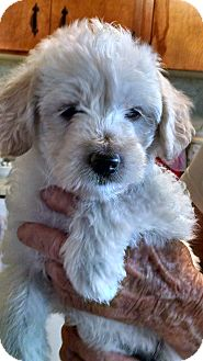 Poodle (Miniature) Mix Puppy for adoption in San Diego, California - Oprah