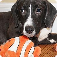 Adopt A Pet :: Hinter - Chapel Hill, NC