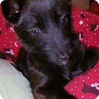 Adopt A Pet :: Piper - Bedminster, NJ