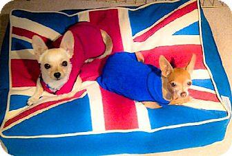 Chihuahua Dog for adoption in Eugene, Oregon - London