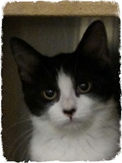 Domestic Shorthair Kitten for adoption in Pueblo West, Colorado - Daisy