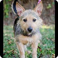 Adopt A Pet :: Sherman - Bristol, TN