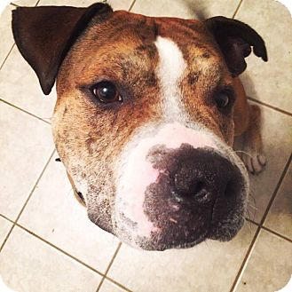 American Pit Bull Terrier Mix Dog for adoption in Edmonton, Alberta - Jake